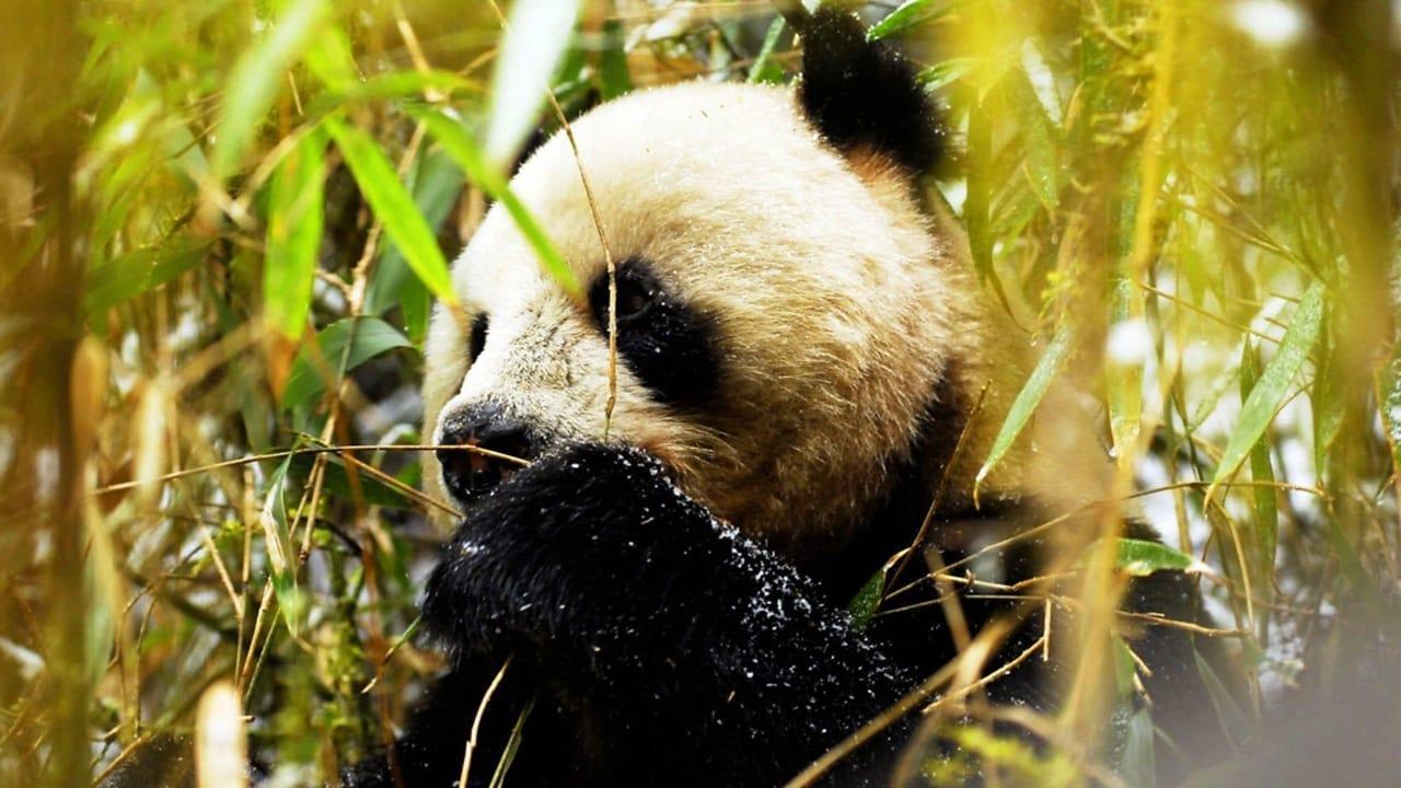 Wild China Episode: Land of the Panda