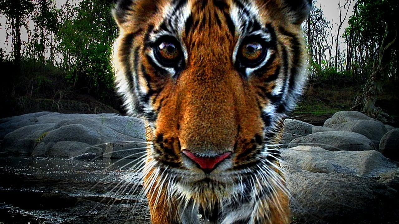 Tiger Spy In The Jungle Episode: Episode 1