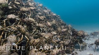 An army of spider crabs shed their shells Blue Planet II Episode 5 BBC One
